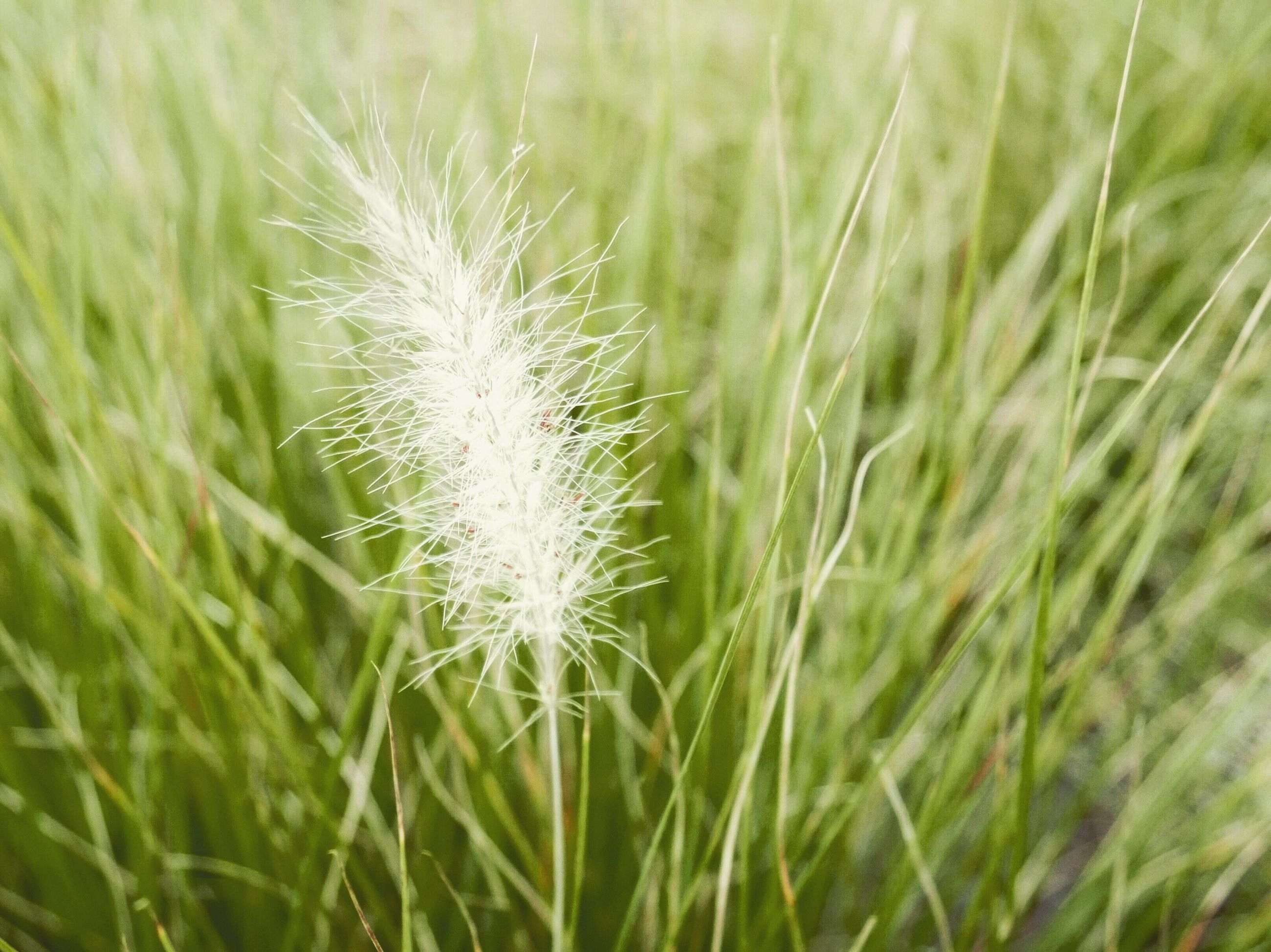 grass, growth, dandelion, plant, fragility, close-up, flower, freshness, field, focus on foreground, nature, green color, beauty in nature, selective focus, softness, day, single flower, grassy, uncultivated, botany, blade of grass, flower head, outdoors, tranquility, dandelion seed, grass family, in bloom, growing