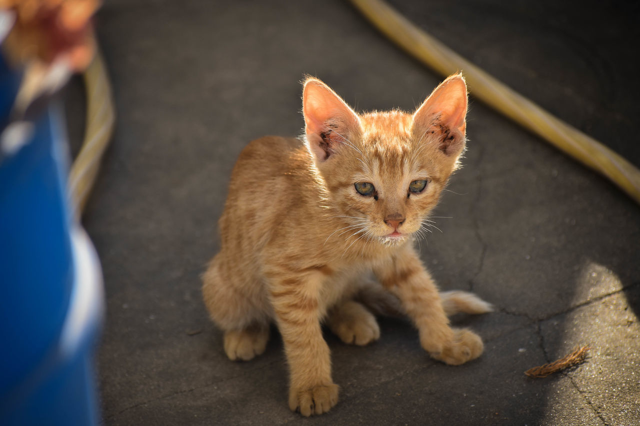 The superhero cat FLASH ⚡ Love Animal Themes Babycat Catlovers Day Domestic Animals Domestic Cat Ginger Cat Guest Mammal No People One Animal Pets Portrait Sitting Young Animal