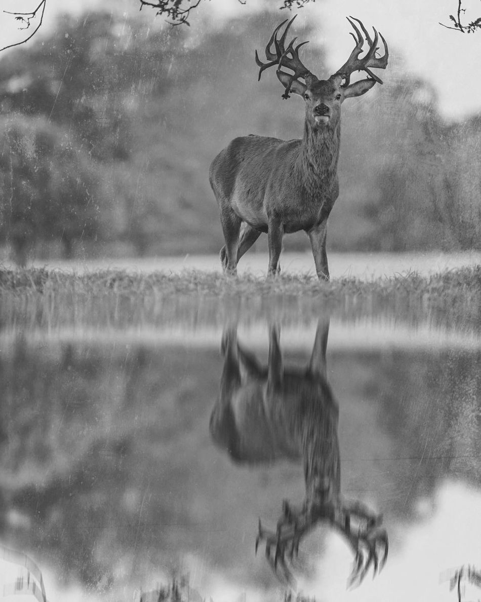 Stag Gaze Norfolk Uk Animal Themes Animals In The Wild Nature One Animal Animal Wildlife Outdoors Deer Stag Antler Water Reflections Waterfront Reflections Great Britain EyeEm Nature Lover Reflection_collection EyeEm Gallery EyeEm Masterclass Landscape_Collection Creative Edit Beauty In Nature Mirror Reflection Mammal Holkham
