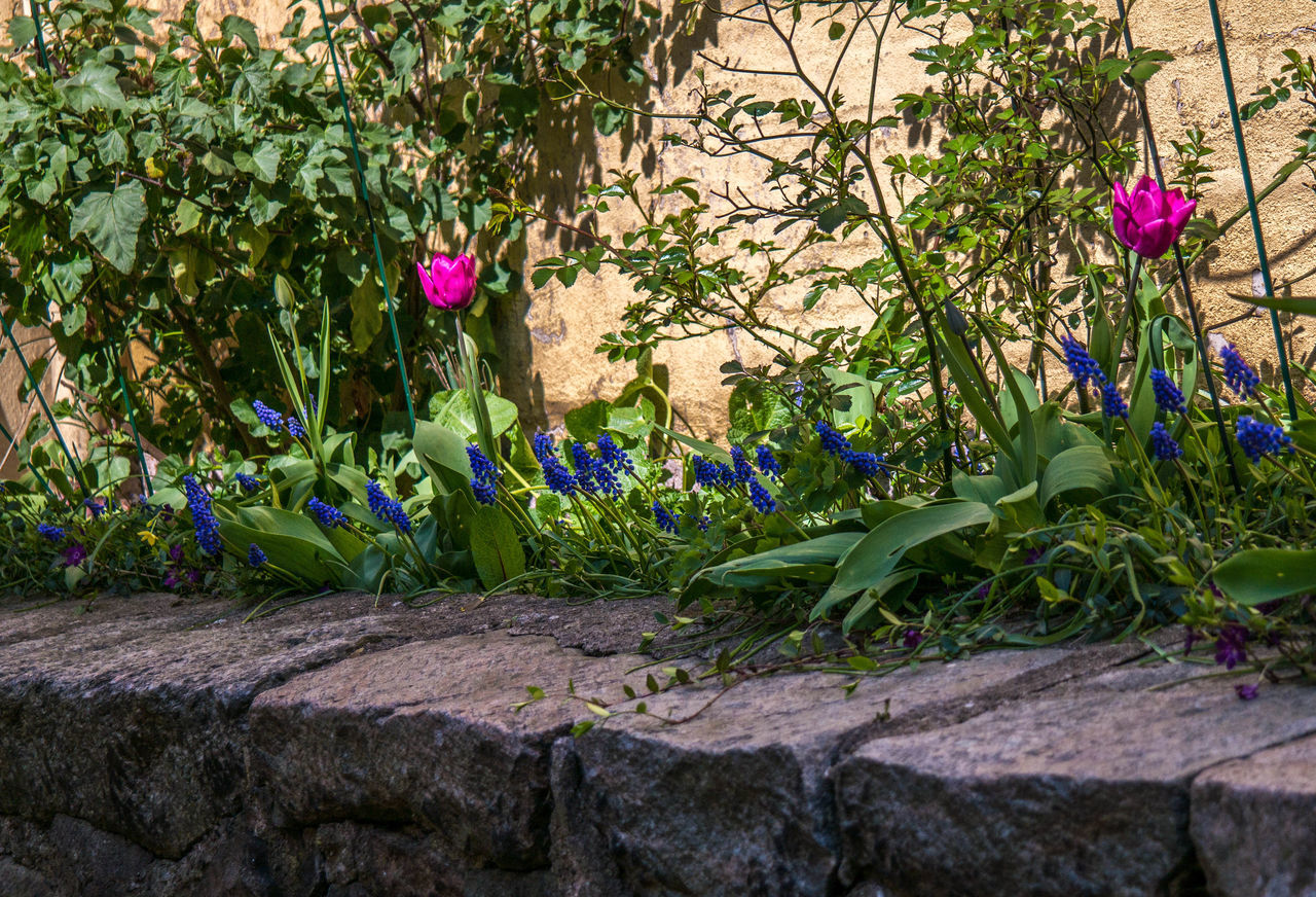 colorful tulips and hyacinths before ivy brick wall Beauty In Nature Blooming Blue Flowers Brickstones Day Flower Flower Head Growth Hyacinths Hyacinths And Tulips Ivy Nature No People Outdoors Pink Flower Plant Sunlight Tulip Wall