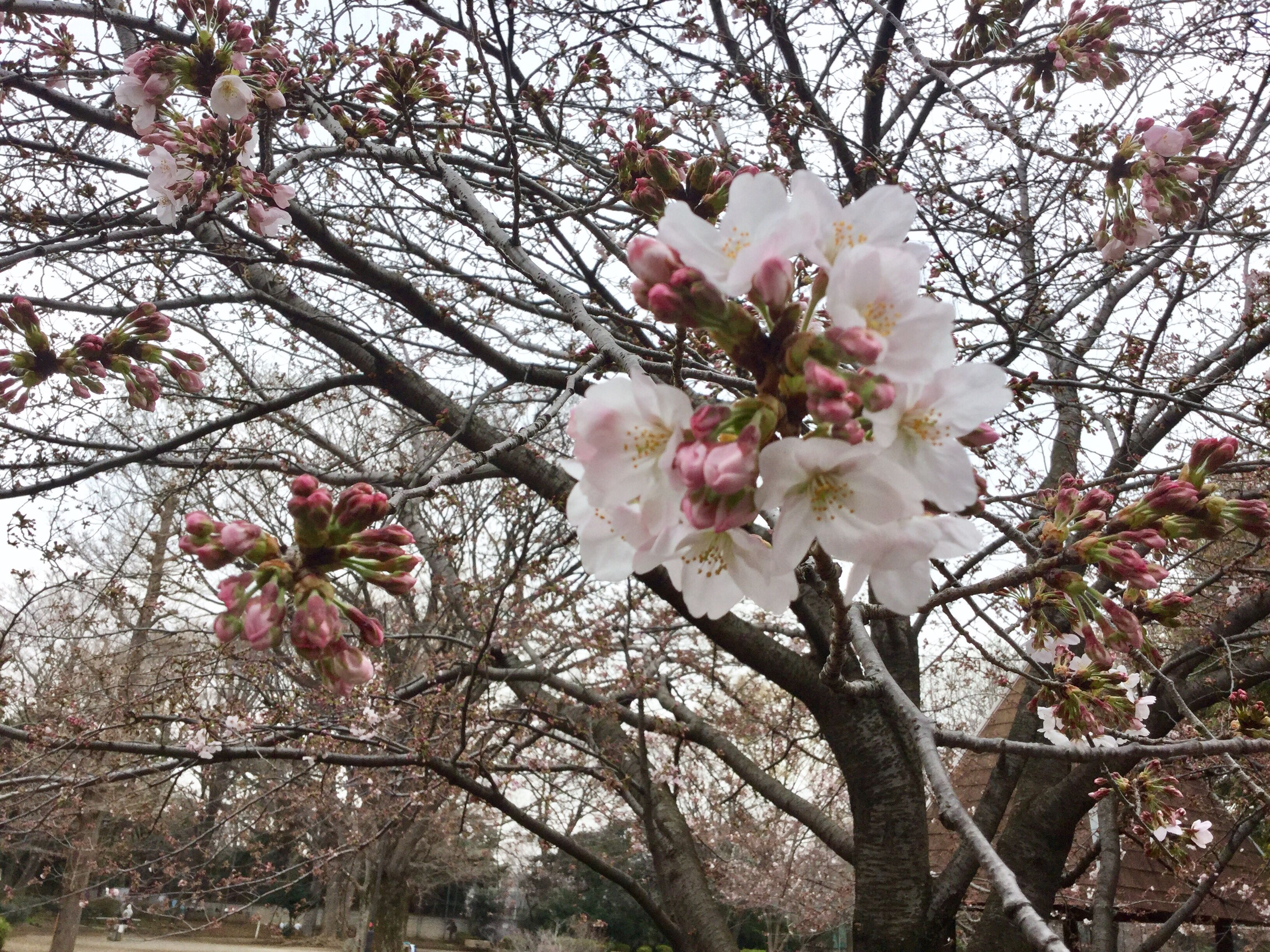 growth, tree, nature, flower, beauty in nature, pink color, branch, blossom, springtime, flower head, petal, no people, close-up, fragility, almond tree, freshness, plum blossom, outdoors, day, sky, rhododendron