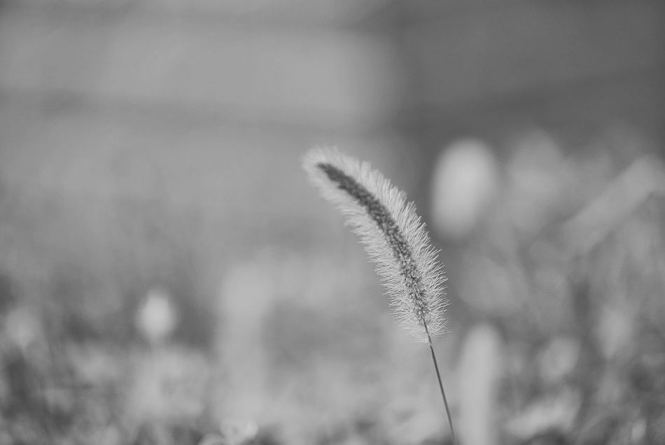 China Photos Foxtail Bnw Blackandwhite Plant Growth Flowerpark Close-up Nature Grass Stem Beauty In Nature Tranquility Botany Fragility Outdoors Scenics Growing Softness Uncultivated Focus On Foreground Grass Family Freshness Tranquil Scene Streamzoofamily