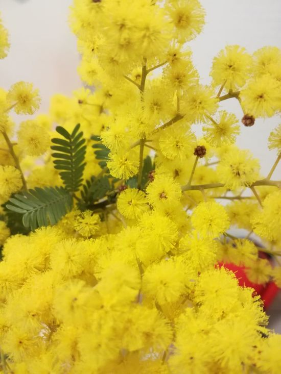 ミモザ Yellow Flower Nature Flower Head EyeEm Best Edits EyeEm Best Shots EyeEm