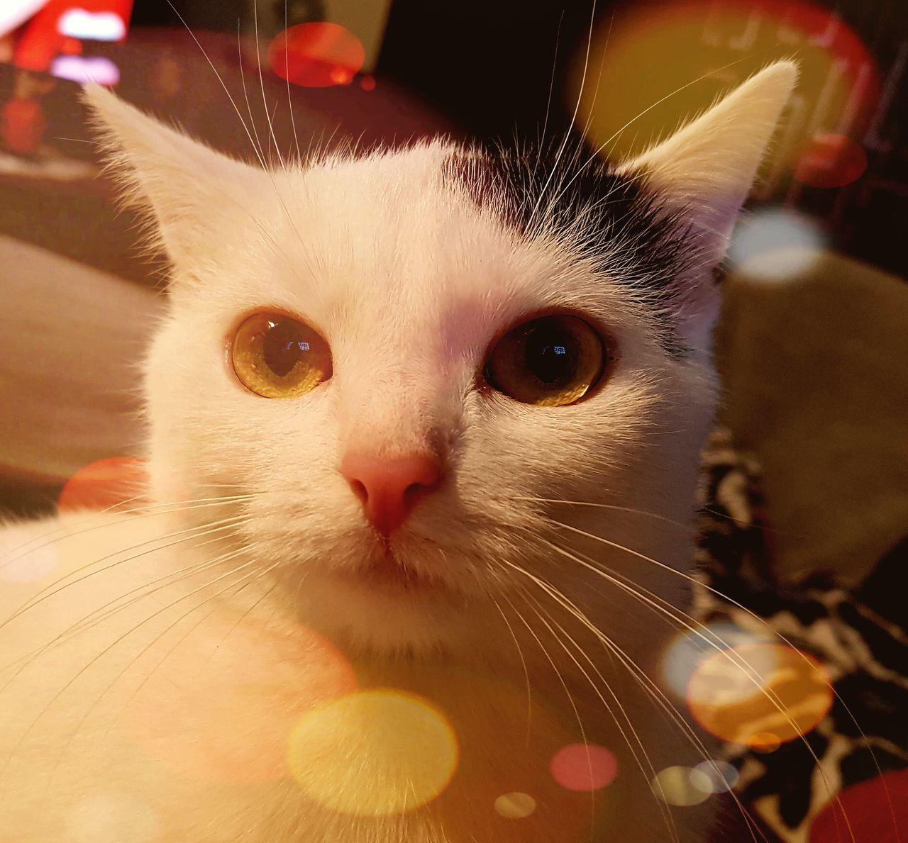 domestic cat, pets, domestic animals, animal themes, whisker, one animal, feline, mammal, indoors, close-up, portrait, looking at camera, focus on foreground, no people, day