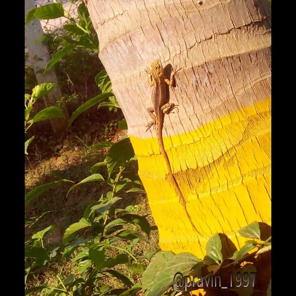 ClickedByMe Photo Photos Indian Chameleon Littlefriend Winter Reptiles Nature Animalphotography Loveanimals Lovephotography  Beautifulcreature Cute Perfect Reptilelover Lizard All_shots Exposure Composition Capture Moment Maf Like4like Follow4follow f4f l4l s4s followme