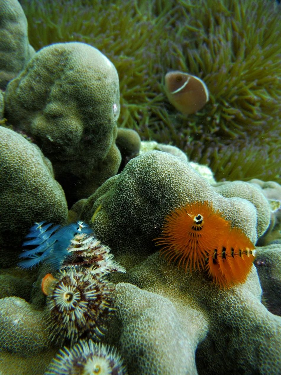 "These little colorful Anemone ""trees"" were tough to capture, as they would disappear from sight if I got too close. I got extra lucky that I Found Nemo in the background ☺ Nature's Diversities Underwater at Koh Chang, Thailand. Snorkeling Clown Fish Clownfish Coral Coralreef Diving Explore Finding Nemo Findingnemo Multi Colored Nature Nemo Sea Anemone Sea Life Underwater Photography The Great Outdoors - 2016 EyeEm Awards Macro Nature Fujifilm Finepix Xp60"