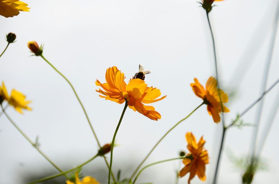 Flower Collection Orange Color Beauty In Nature Close-up Bee Nature Blossom Freshness Cosmos Flower Bumblebee