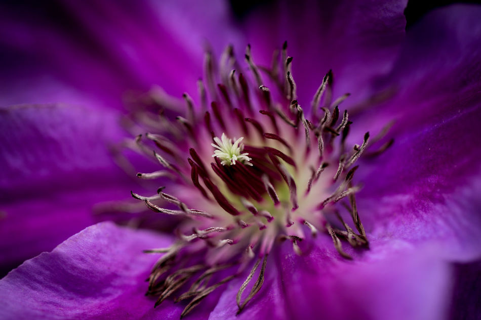 Clematis in my garden, natural light Beautiful Beauty In Nature Blossom Blue Clematis Close-up Flower Flower Head Flowers Fragility Freshness Growth Macro Nature Outdoors Petal Pollen Purple Wildlife First Eyeem Photo