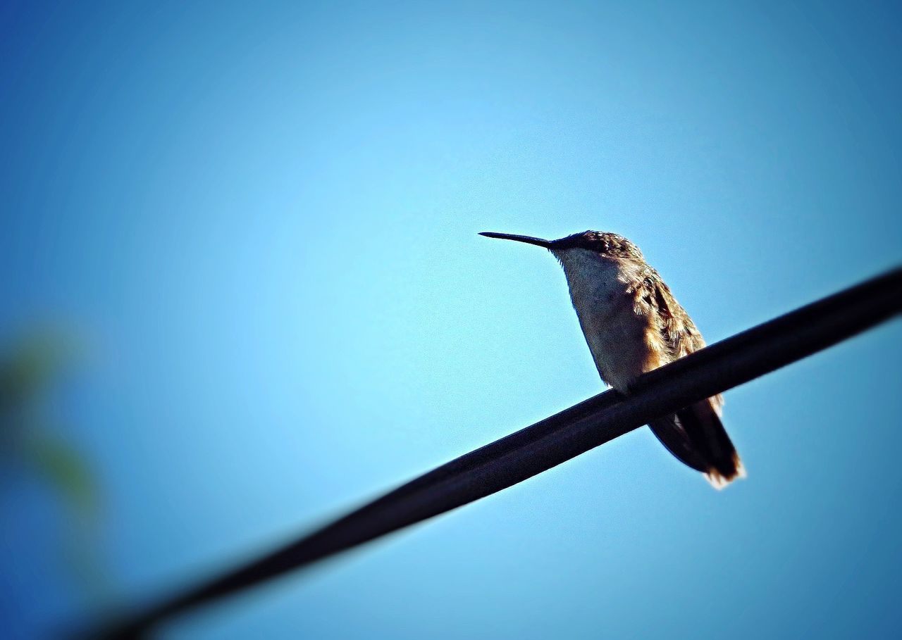 Beautiful stock photos of hummingbird, Animal Themes, Animals In The Wild, Bird, Blue