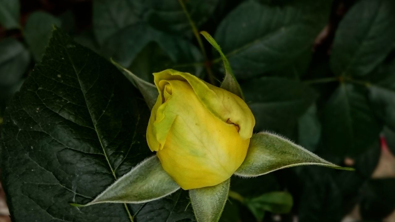 Roses Yellow Rose Flowers Flower Collection Rose Bud Green Leaves Plants Nature Close-up Beauty In Nature Growth Flower Flower Head Outdoors Freshness No People Day Yellow Taking Photos EyeEm Best Shots Open Edits Feeling Creative Photography The Great Outdoors EyeEm Nature Lover