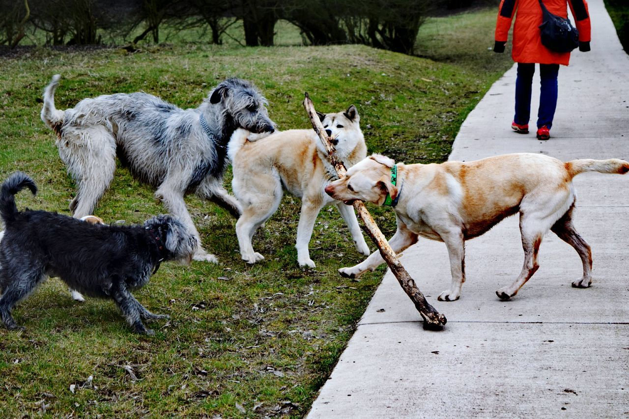 Domestic Animals Animal Themes Togetherness Grass Playing Dog Outdoors Bokeh March 2017 Winter 2017 Herrenkrugpark Dogs Of EyeEm Dogslife Dog Of The Day Dogs Of Winter Dogwalk Pets How Is The Weather Today? Irish Wolfhound Cearnaigh The Places I've Been Today Akita Inu Jack Russell Terrier
