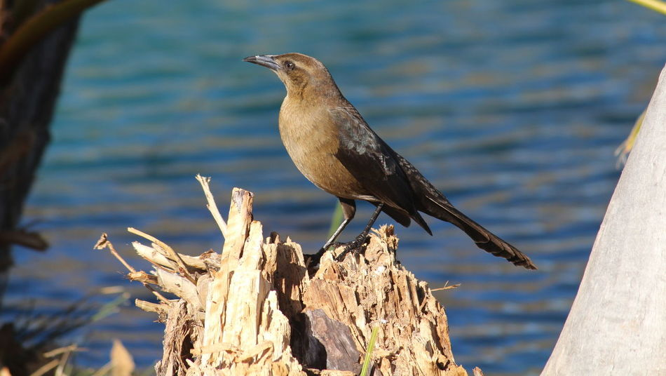 Animal Themes Animal Wildlife Animals In The Wild Beauty In Nature Bird Day Focus On Foreground Great-tailed Grackle Nature No People One Animal Outdoors Perching