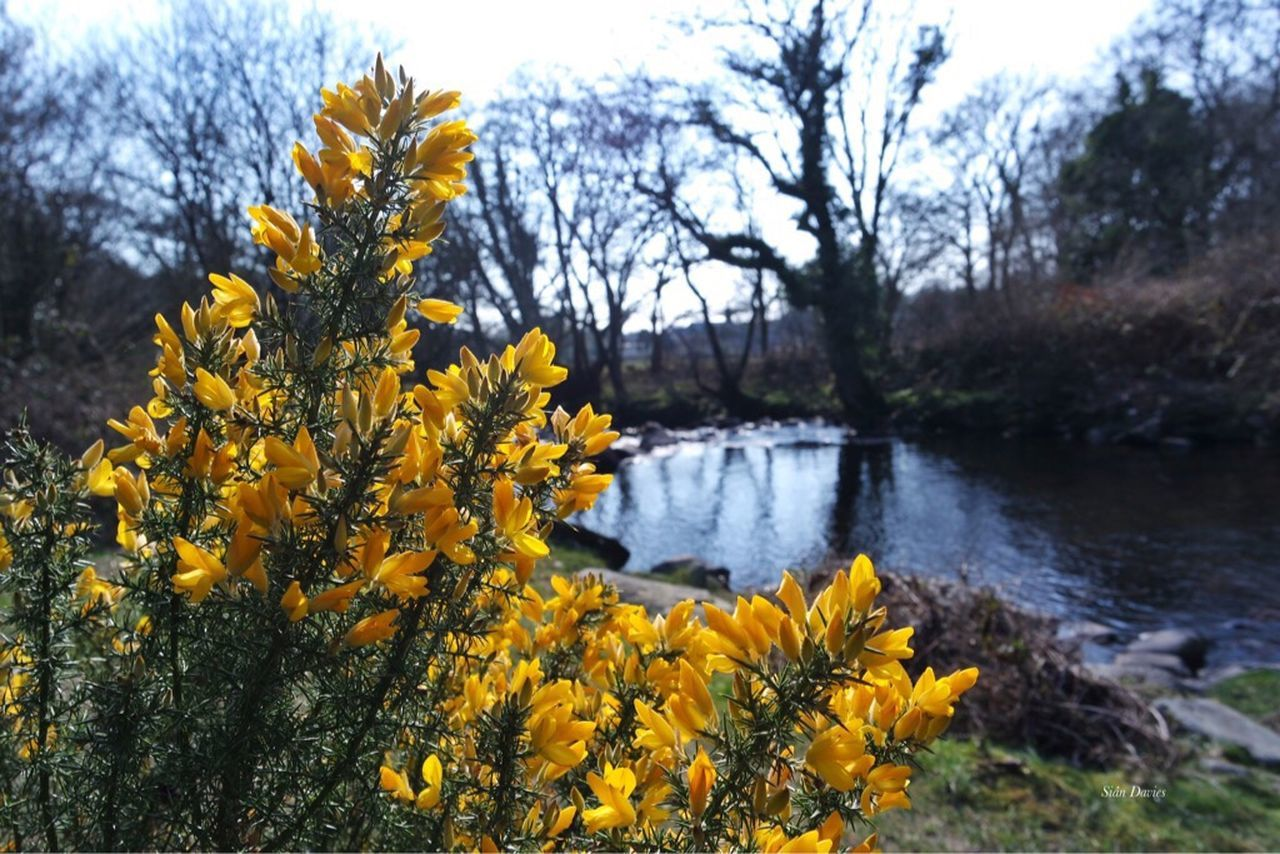 Gorse Bush Riverside River North Wales Afon Dwyfor Wales Landscape Yellow Springtime Spring Beautiful Day Focus On Foreground