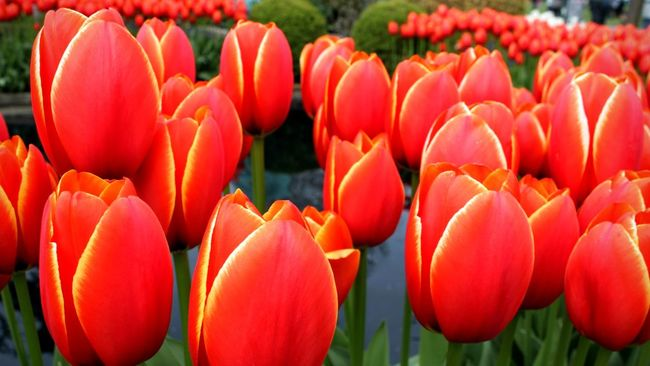 "Tulip ""World's Favorite"" also known as Darwin hybrid tulip Tulips Red Tulip Worldsfavorite Yellow Edge Flowercloseup Flowers"
