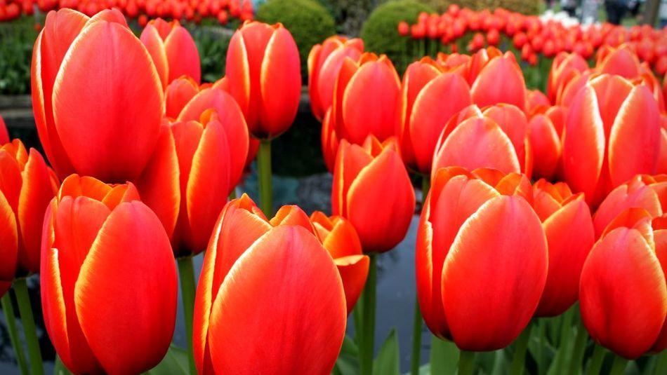 "Tulip ""World's Favorite"" also known as Darwin hybrid tulip Tulips Red Tulip Worldsfavorite Yellow Edge Flowercloseup Flowers"