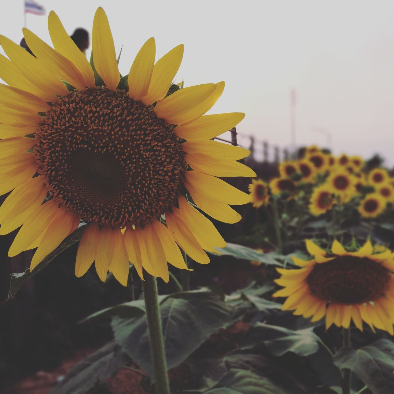 flower, yellow, petal, fragility, beauty in nature, nature, growth, flower head, sunflower, plant, freshness, pollen, outdoors, close-up, no people, day, blooming