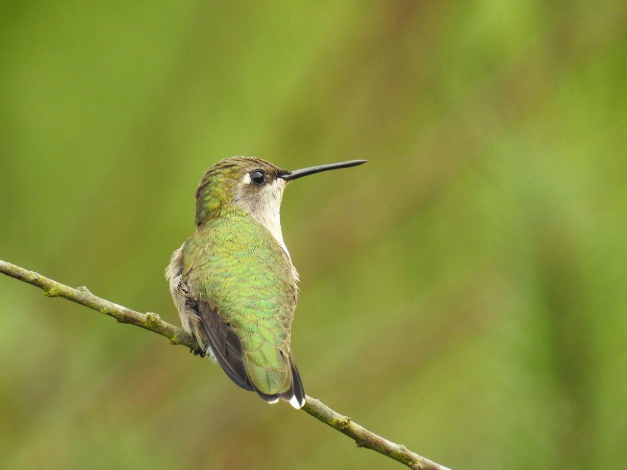 Rest Stop - Green Hummingbird Hummingbird Nature Photography Birds Bird Photography Quintana Beach Bird Sanctuary, Quintana,Tx