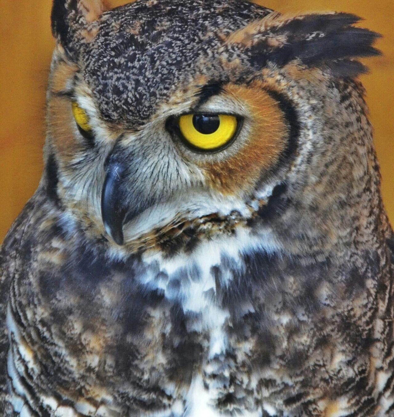 Beautiful stock photos of owl, Animal Body Part, Animal Eye, Animal Head, Animal Themes