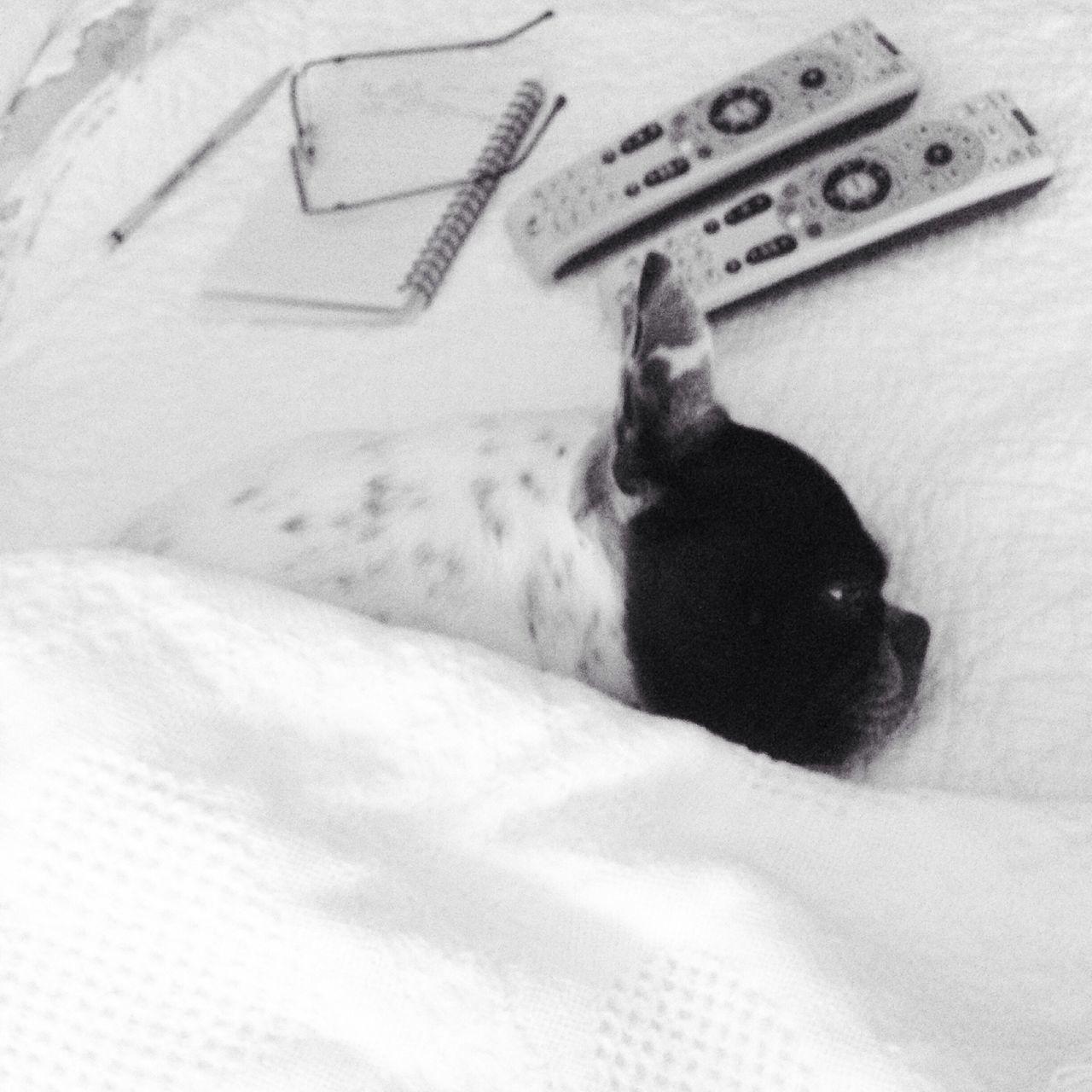 Boston Terrier Dog Perro Sleep Dormir