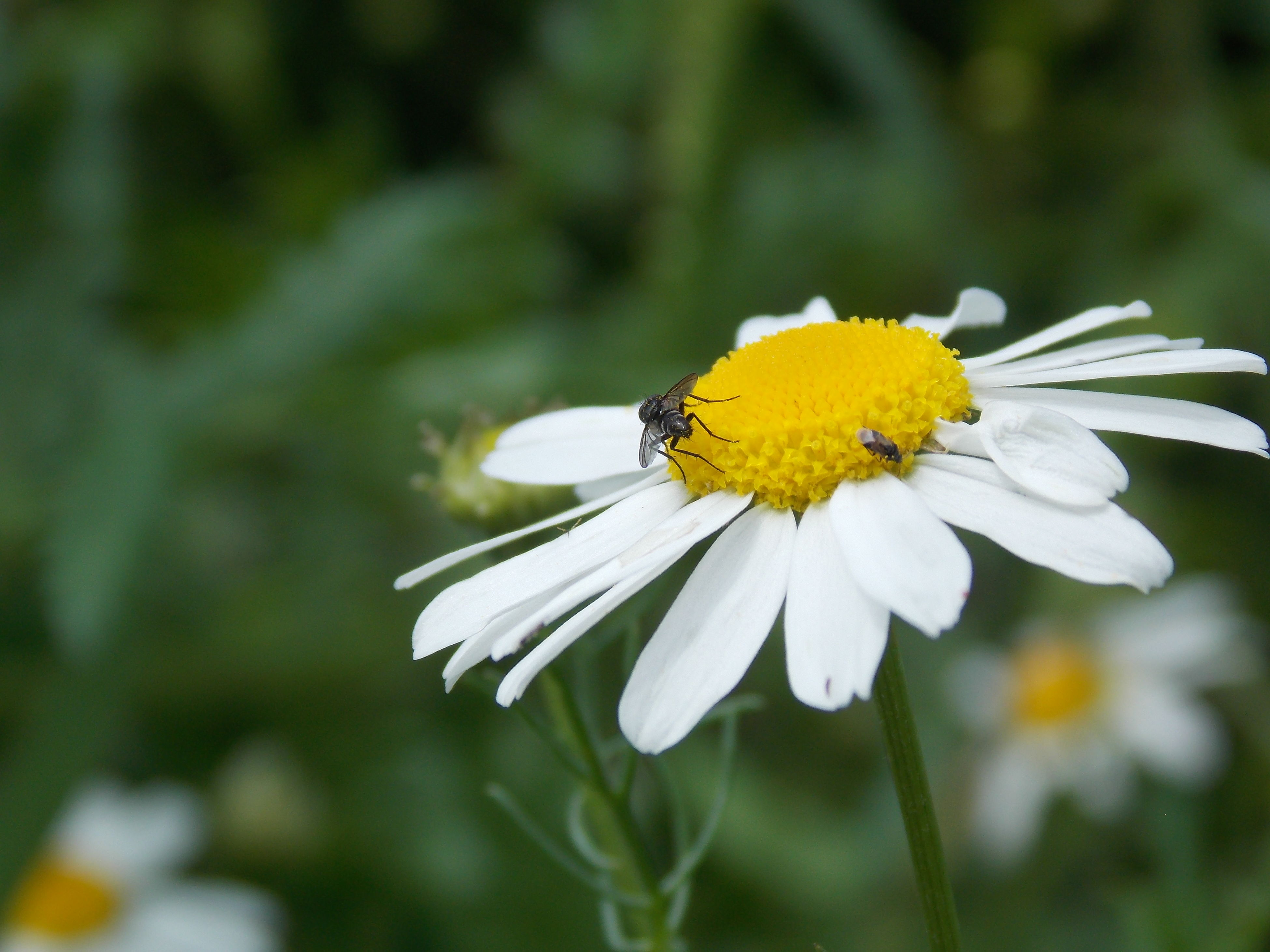 flower, petal, freshness, fragility, flower head, yellow, pollen, close-up, focus on foreground, white color, growth, beauty in nature, insect, one animal, nature, single flower, blooming, animal themes, daisy, plant