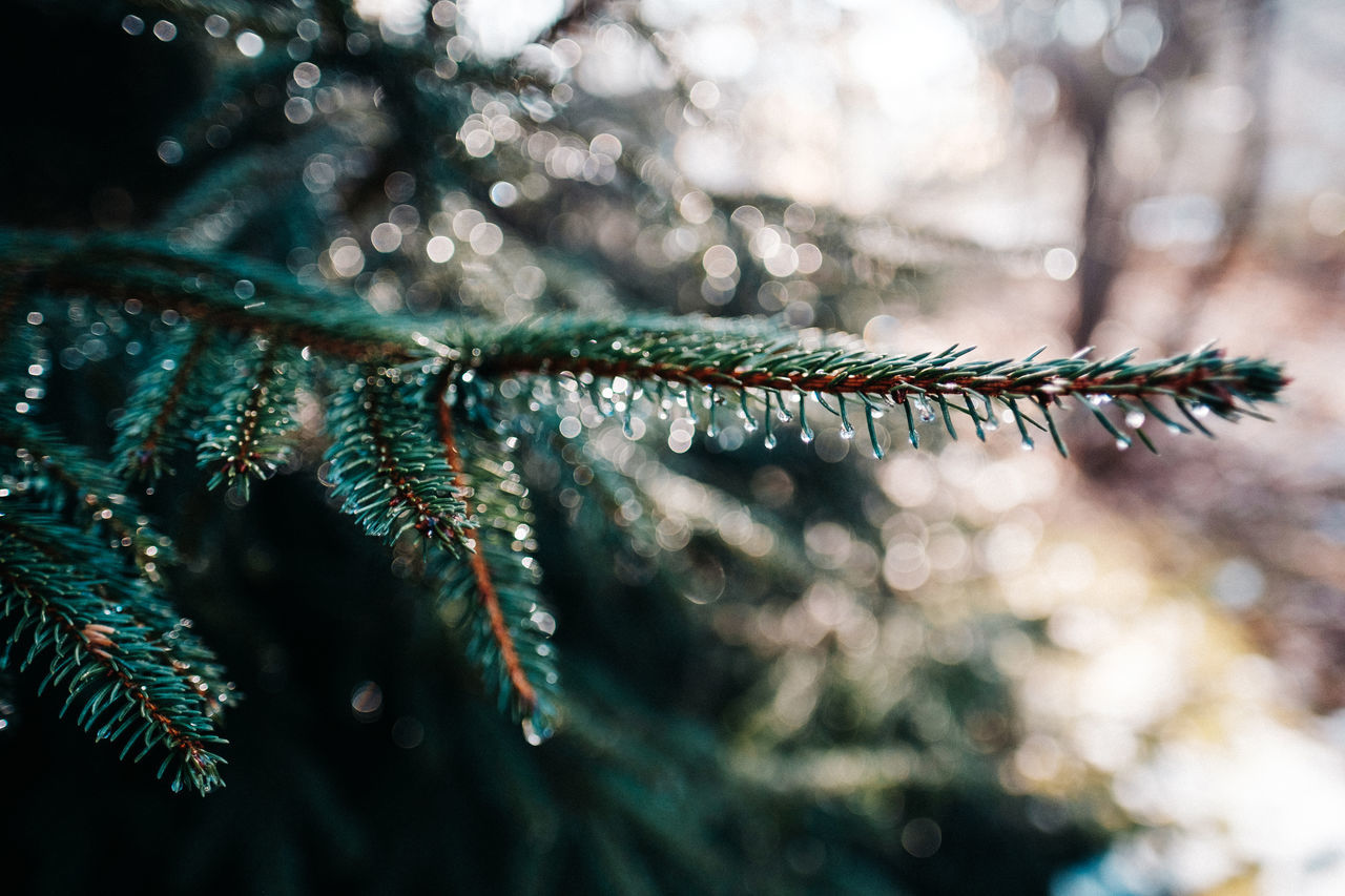 Beauty In Nature Branch Christmas Ornament Christmas Tree Close Up Nature Close-up Cold Temperature Day Fir Fir Tree Green Color Macro Nature Needle - Plant Part No People Outdoors Rain Drops Rain Drops On Leaves Shallow Depth Of Field Tree Water