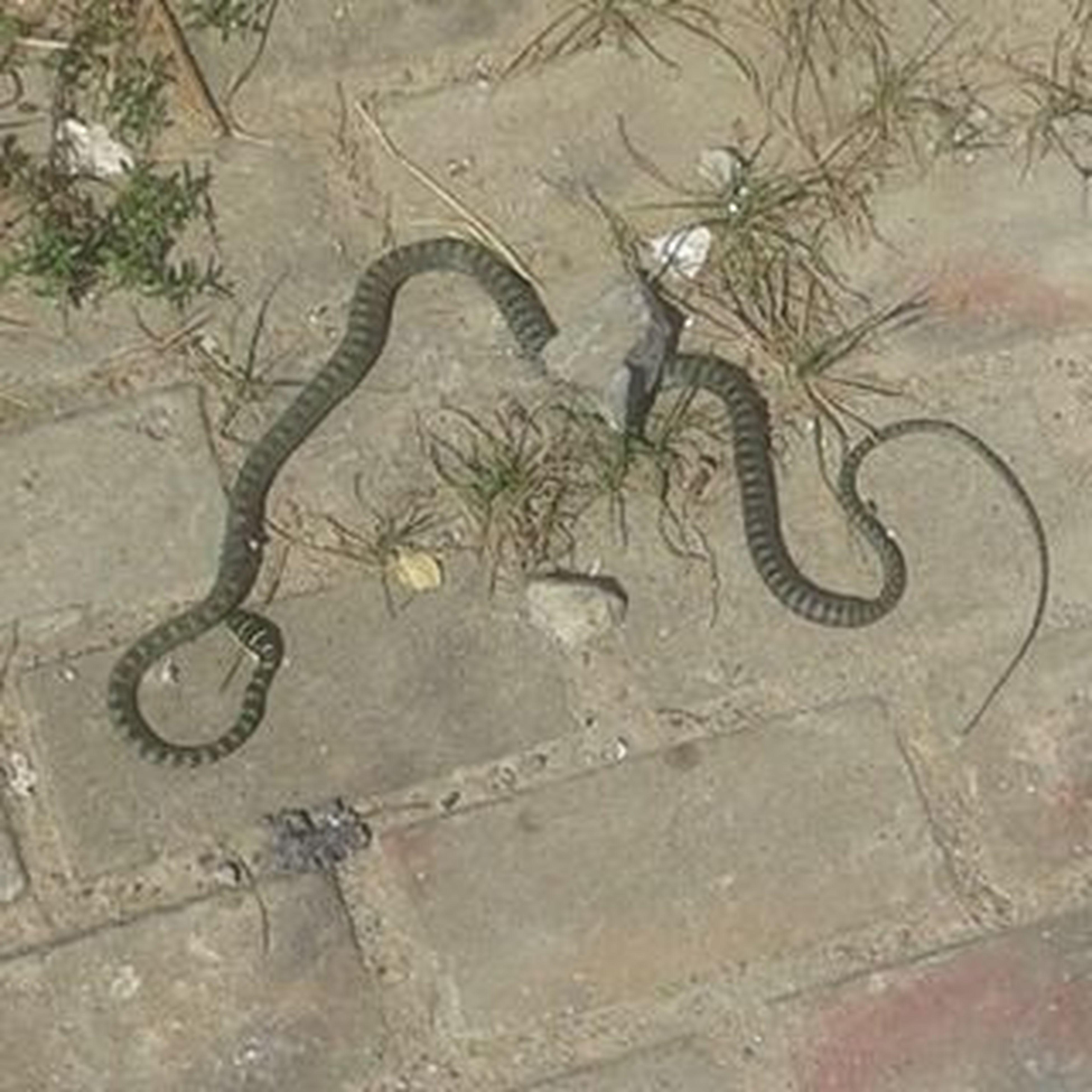 Snake Snakeanyone Reptile Poisonous Unknown Onthefootpath Vientiane Laos Johnnelson Lifeasiseeit Animal Southeastasia