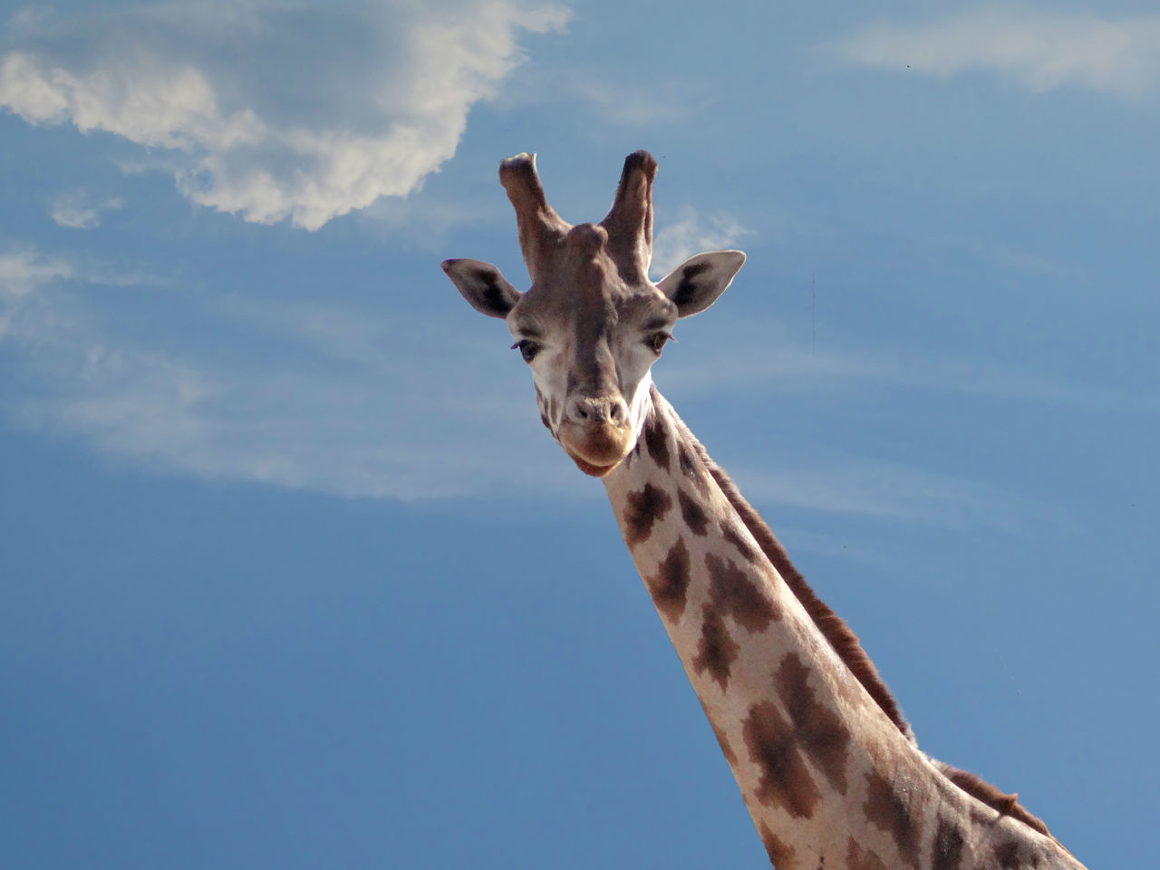 sky, one animal, cloud - sky, animal themes, low angle view, giraffe, portrait, looking at camera, mammal, day, outdoors, no people, animals in the wild, nature, animal wildlife, beauty in nature, close-up