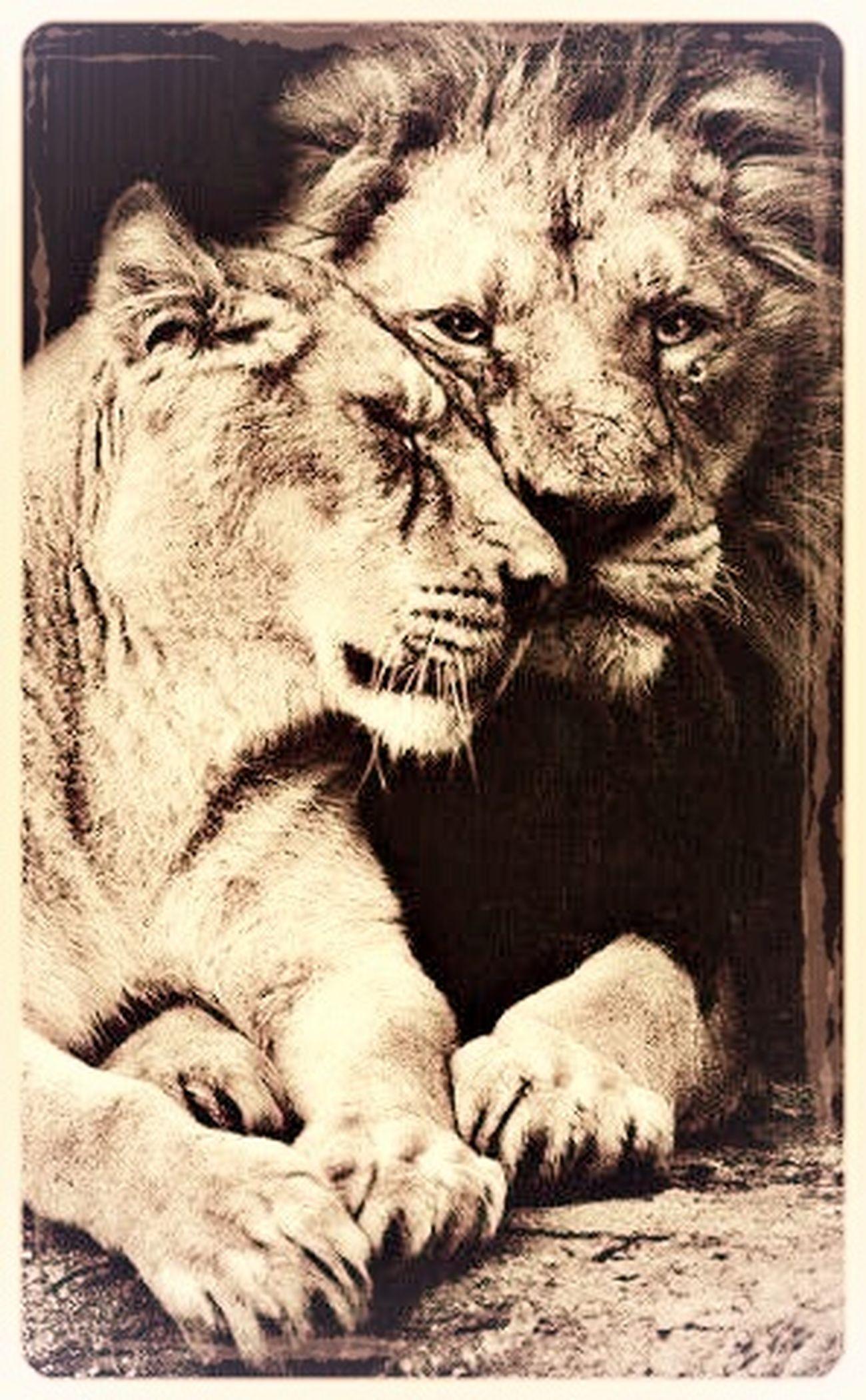 Lion King&queen Beauty Pride
