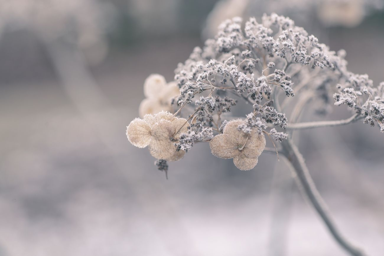 I wish all lovely peoples a moody Sunday. 🌞🥀 Nature Flower Plant Fragility Flower Head My Point Of View Frozen Nature Showcase: February I LOVE PHOTOGRAPHY EyeEm Team EyeEm Nature Lover EyeEm Gallery Bokeh Plants And Flowers Dried Plant Full Frame Fineart Moody Love Nature's Diversities Winter Wonderful Day favorite tag Simple Quiet Love ❤️ Canon 3XSPUnity