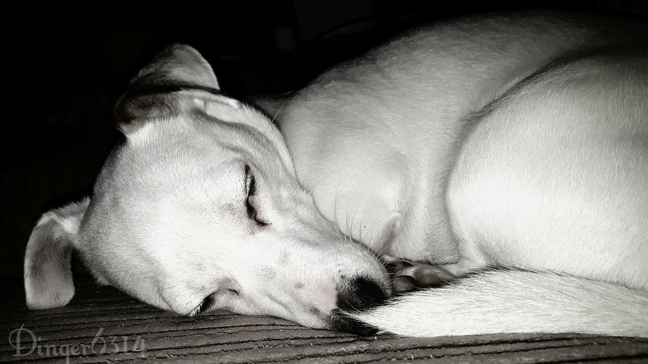 My Beautiful mitzi Jackrussle Puppy Dog Cute