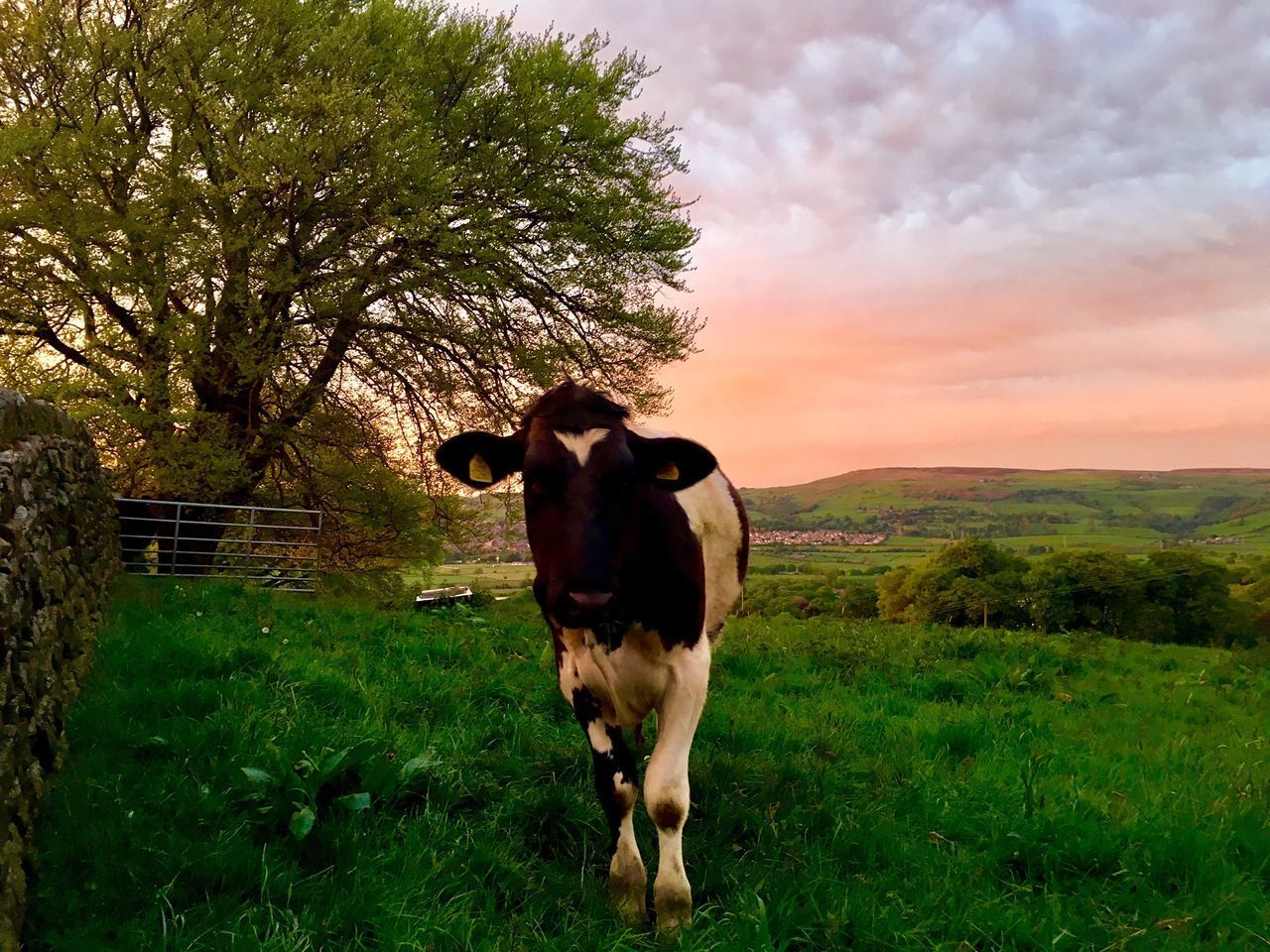 Inquisitive cow. Amazing Yorkshire view 😊 Animal Themes Domestic Animals Mammal Grass One Animal Sky Field Tree Landscape Nature Green Color Outdoors Yorkshire Dales hFull Lengthl scene] Yorkshire full lengtCloud - SkykyNo PeoplelStandingnCowoBeauty In NaturerGrowthth The Great Outdoors - 2017 EyeEm Awards