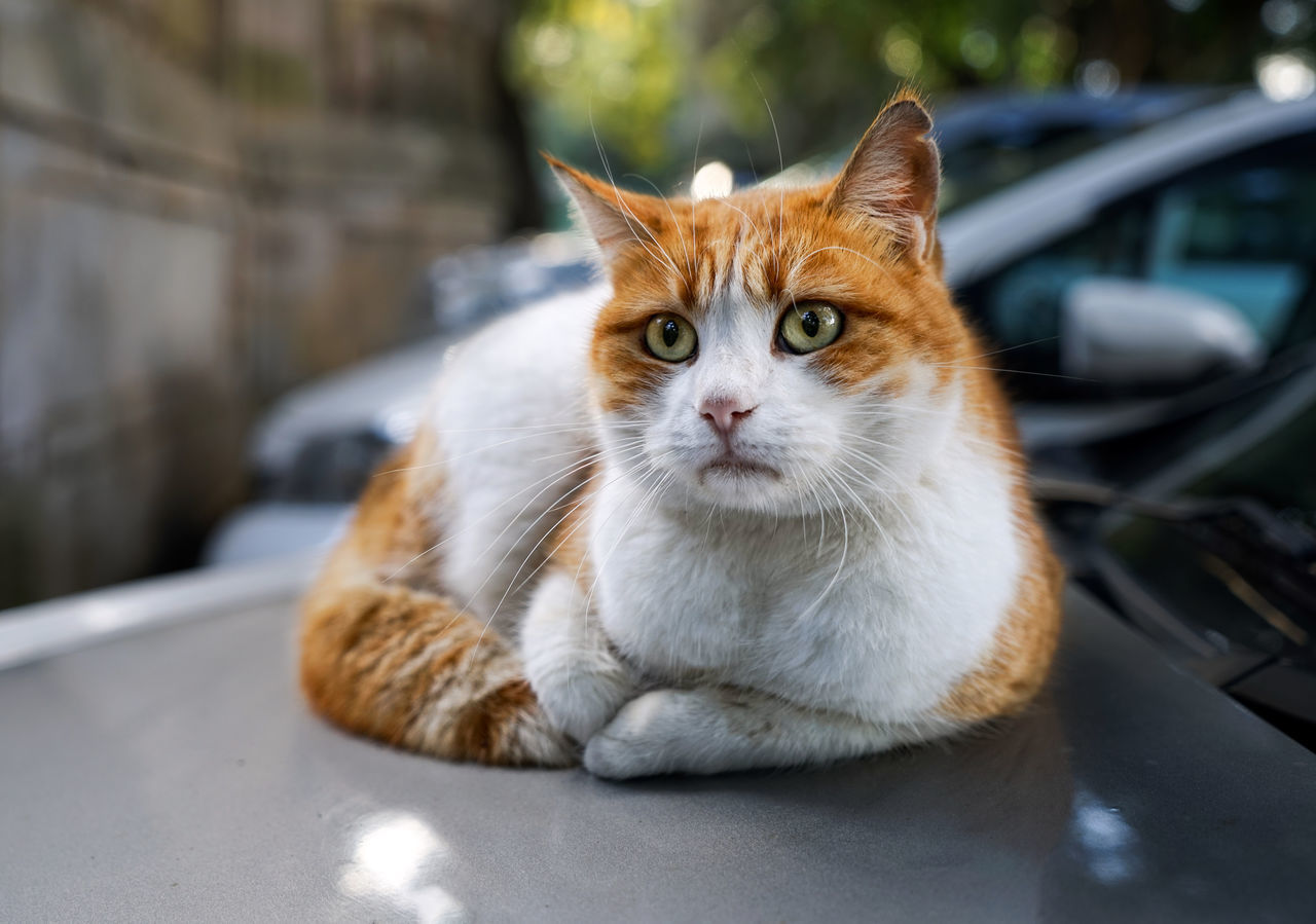 Homeless red street cat lying on warm hood of the car. Selective focus, natural light Alone Animal Eyes Cat Day Domestic Cat Feline Homeless Cats Looking At Camera Malta Mammal No People One Animal Outdoors Pets Portrait Red Haired Sad Face Sadness Street Winter