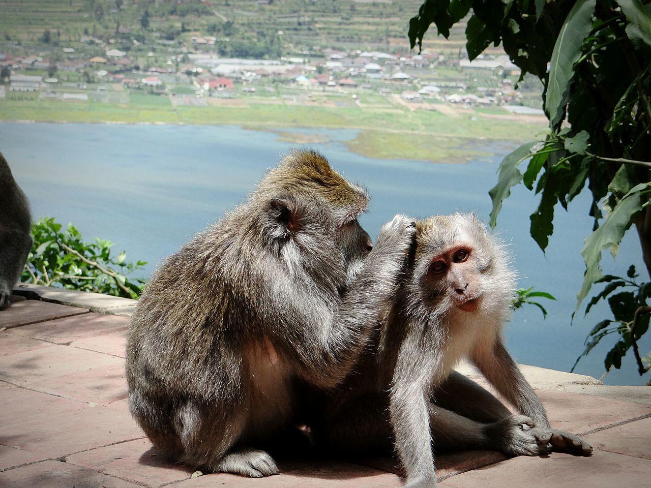 monkeys Bali, Indonesia Animals Wildlife Monkeys Bali Landschaft Landscape Nature Affen Monkey Beauty In Nature Buyan Lake Bratan Lake Pura Ulun Danu Bratan Temple Affen Lausen Sich Delouse Lausen