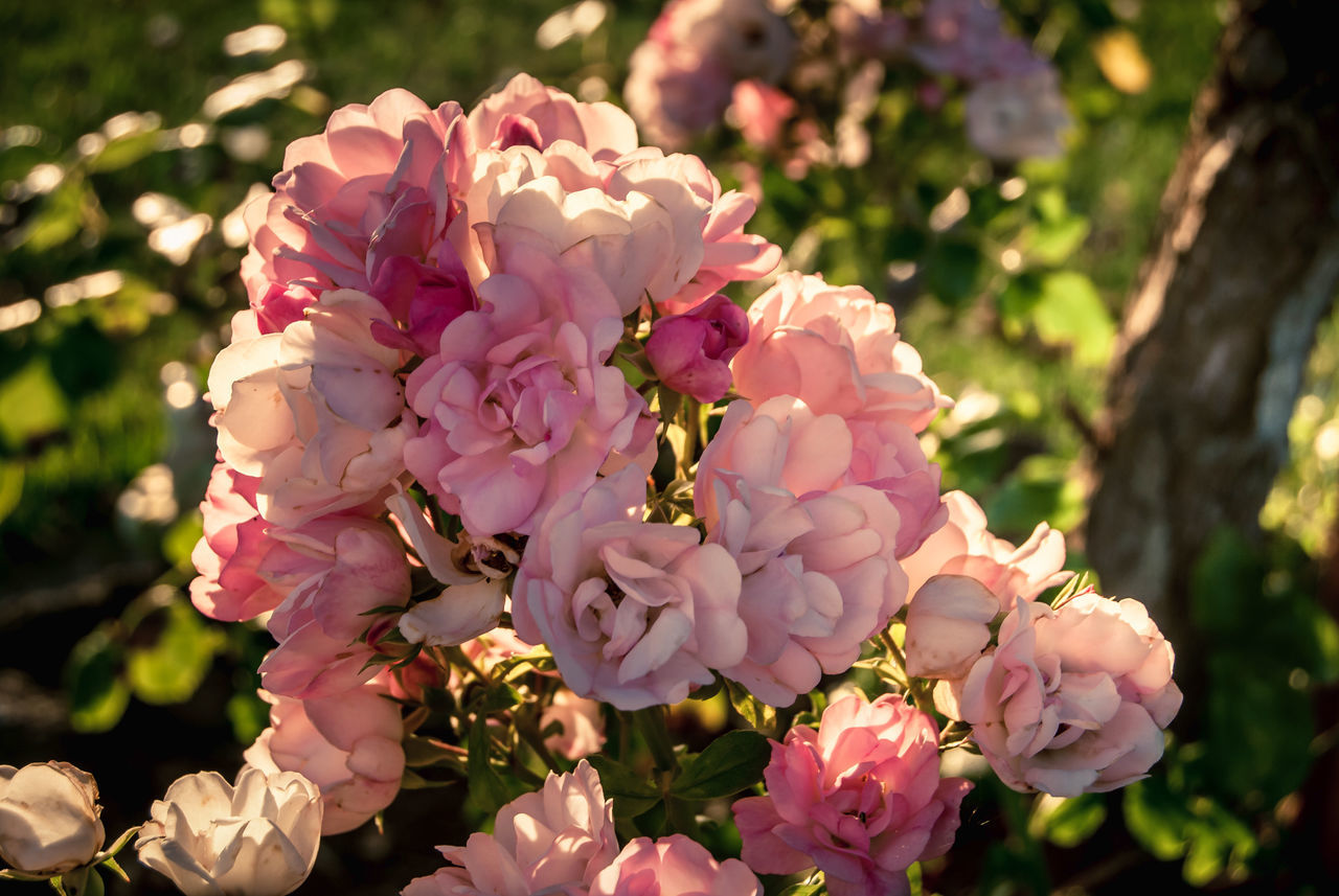 flower, fragility, pink color, beauty in nature, nature, freshness, growth, petal, no people, outdoors, day, flower head, close-up, focus on foreground, blooming, tree