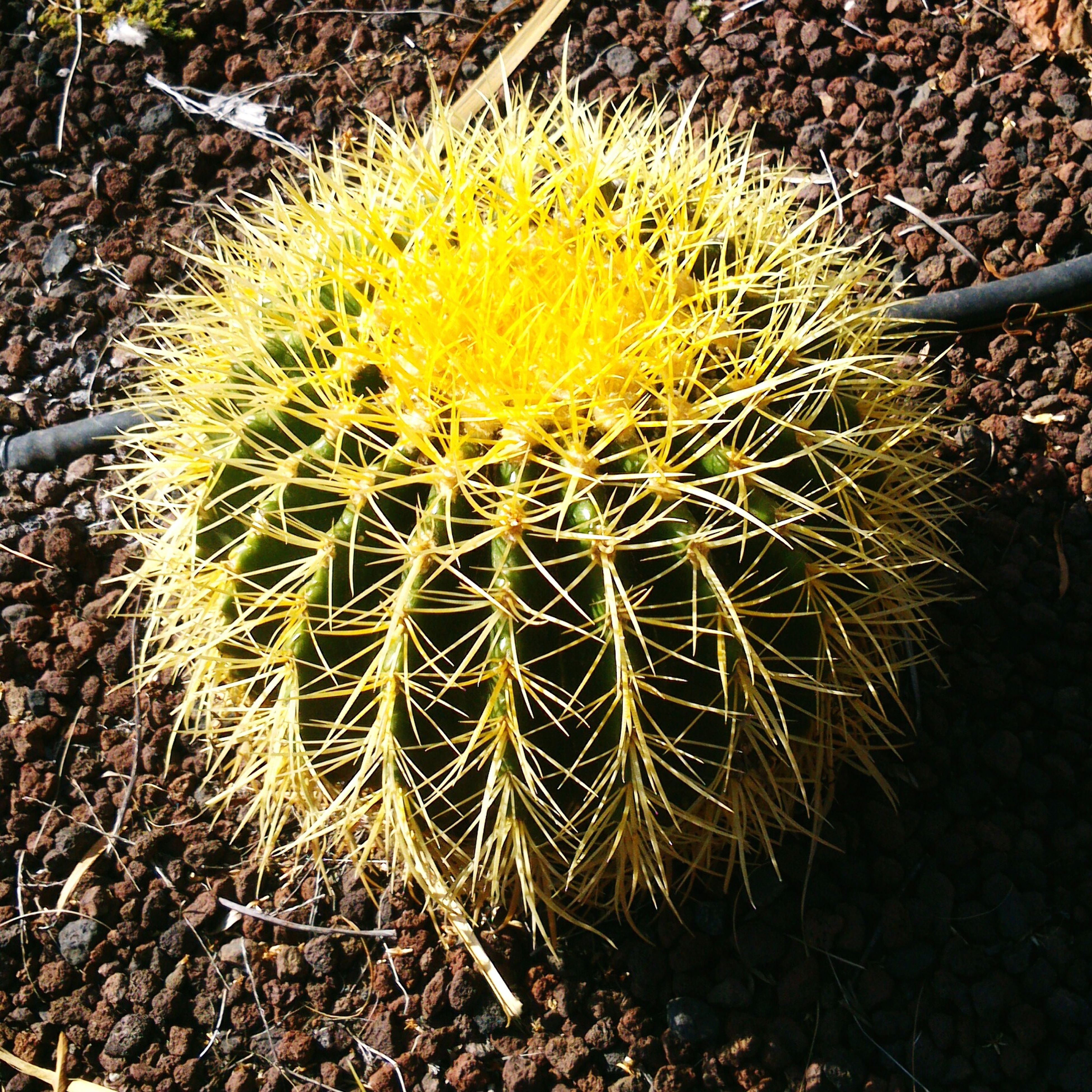 growth, dandelion, high angle view, flower, nature, plant, close-up, fragility, cactus, thorn, field, spiked, beauty in nature, outdoors, day, uncultivated, no people, single flower, flower head, ground