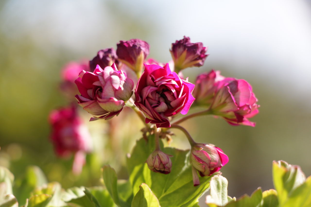 Beauty In Nature Close-up Day Flower Freshness Garden Green Growth Nature No People Outdoors Petal Pink Pink Color Plant Springtime Sunny