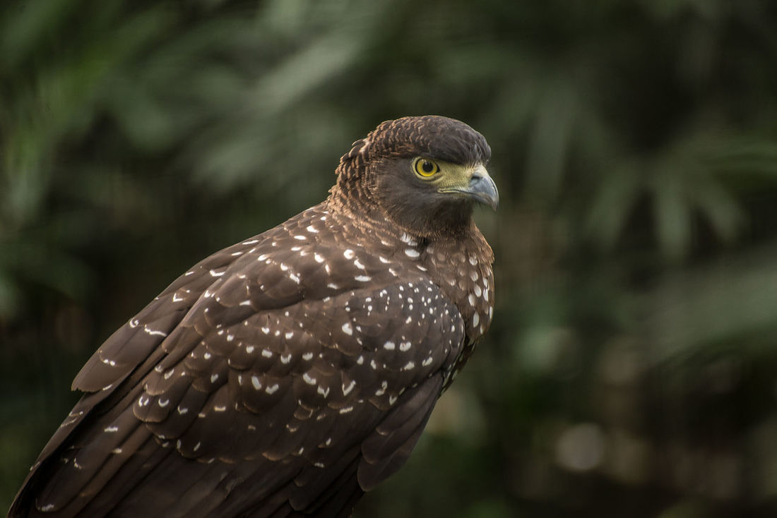 Animal Themes Animal Wildlife Animals In The Wild Bird Bird Of Prey Close-up Day Eagle Eagles Eyeem Philippines Leaves Nature No People One Animal Outdoors Perching Philippine Eagle Serpent Eagle Spotted White Bellied Eagle Wild Wild Life Wildlife