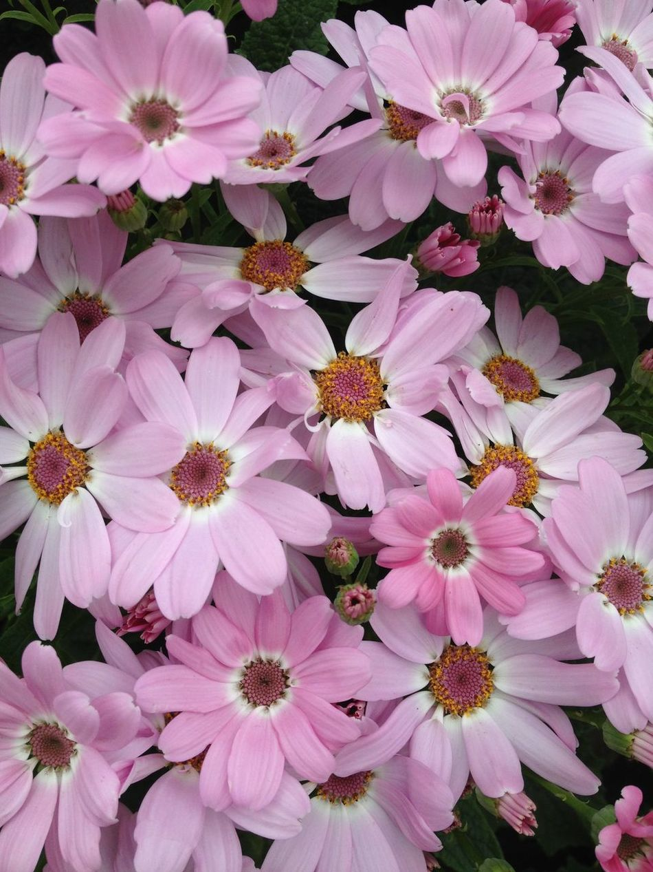 Cineraria flowers Backgrounds Beauty In Nature Blooming Botany Cineraria Close-up Flower Flower Head Flowers Freshness Growth In Bloom Nature Outdoors Petal Pink Plant
