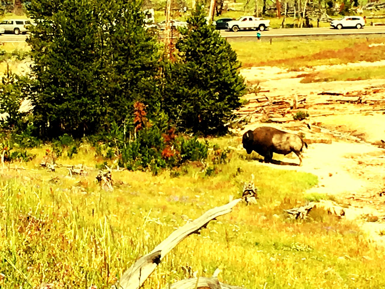 Yellowstone National Park Bison Alert Ready To Charge Raw Beauty Nature