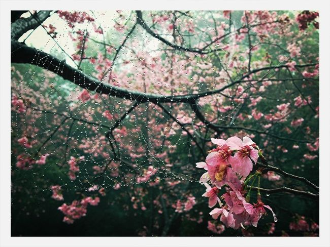Taiwan Spider Web Cherry Blossoms Yang Ming Shan