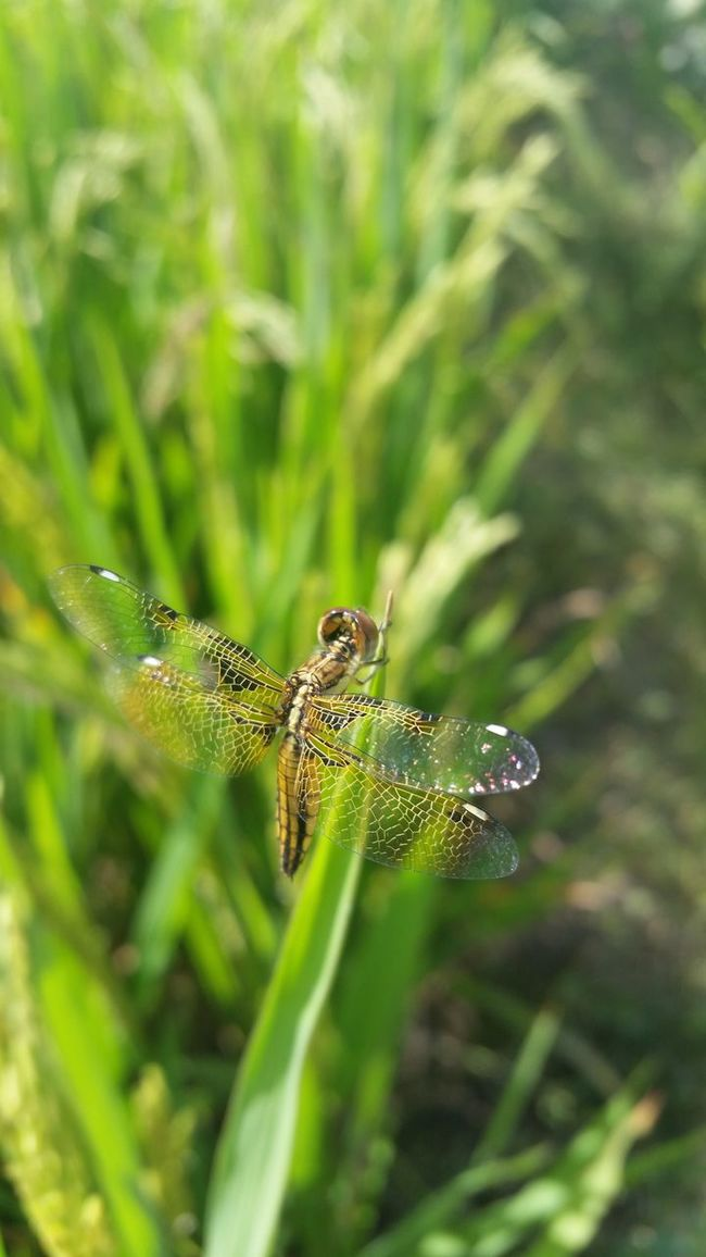 Dragon Fly Beauty In Nature Outdoors Nature Field Fied Dragonfly GO GREEN !!!!!!!!! My_nepal_my_pride Eyeem Nepal Hanging Out Nature Photography Mobile Photography Samsung Galaxy S5