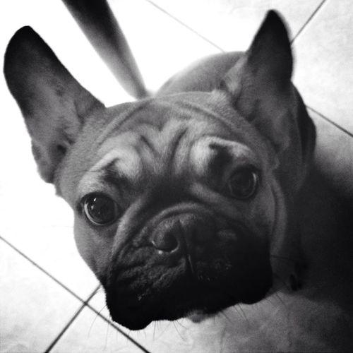 My French Bulldog <3 My Dog Bulldog My Pet my son Thunder Black