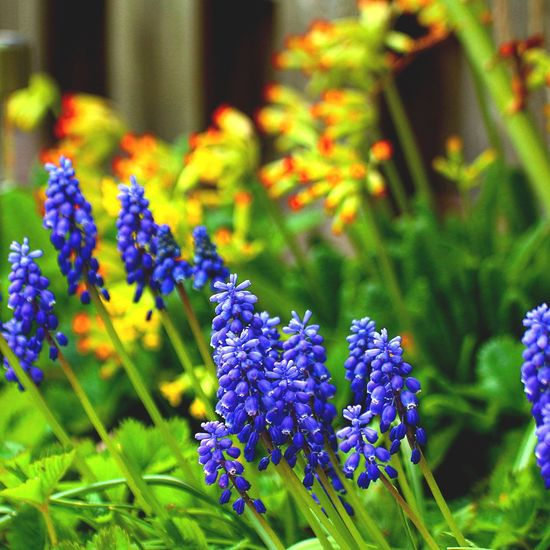 Grape hyacinth in the backyard. Flower Plant Botany Beauty In Nature Outdoors Grape Hyacinths