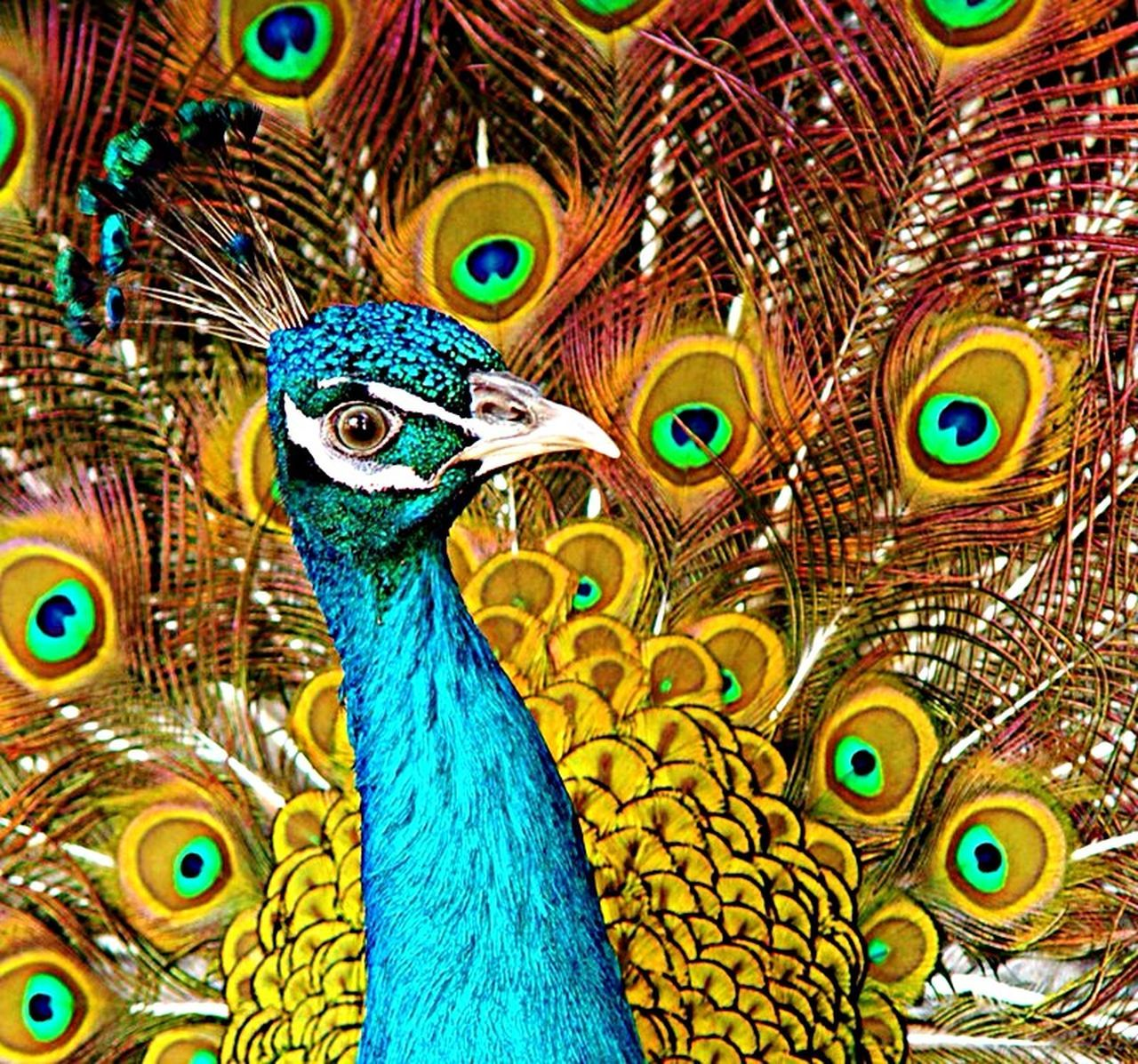 peacock, peacock feather, bird, feather, multi colored, fanned out, animal themes, one animal, close-up, looking at camera, beauty in nature, animal wildlife, day, no people, nature, full frame, animals in the wild, portrait, outdoors
