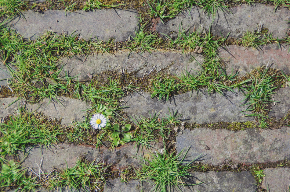 Beauty In Nature Bricks Close-up Daisy Day Flower Fragility Freshness Grass Growth High Angle View Leaf Nature No People Outdoors Pavement Plant Street Tiles