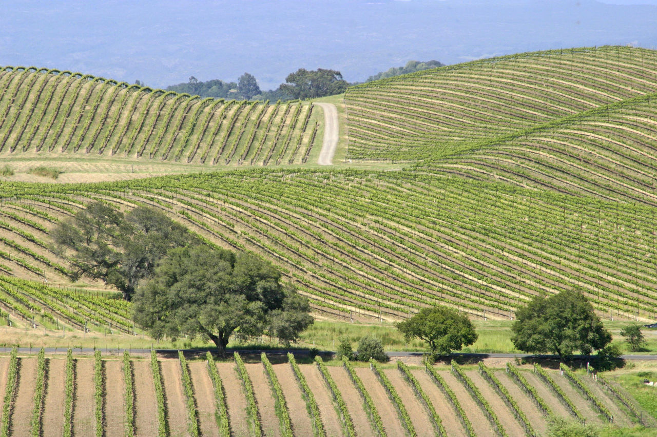 Nappa Valley Nappa Valley Vineyard Agriculture Beauty In Nature Crop  Cultivated Land Day Farm Field Grapevines  Growth Landscape Nature No People Outdoors Rural Scene Scenics Sky Tranquil Scene Tranquility Tree Winery