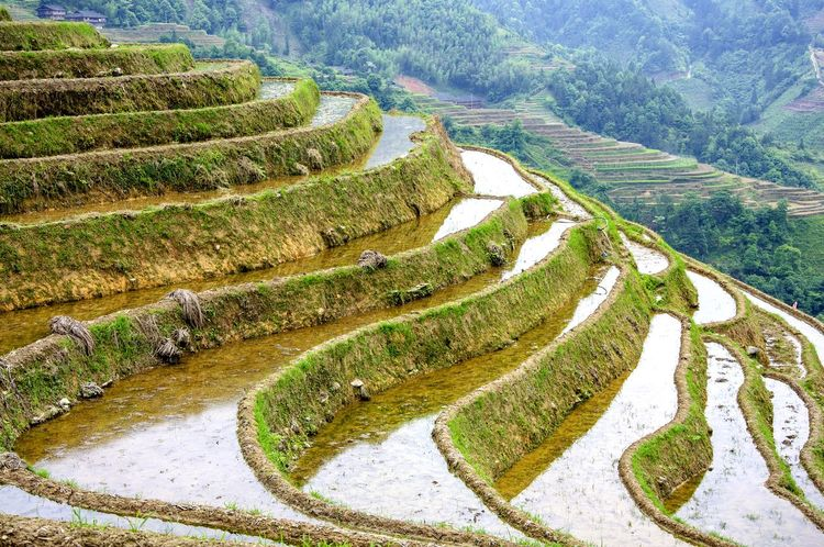The rice terrace fields scenery in spring Agricultural Land Agriculture Green Guilin High Angle View Land Landscape Longsheng Mountain Scenery Mountain View Mountains Nature Scenery Nautre Outdoor Rice Fields  Rice Paddy Rice Planting Rice Terraces Scenery Scenic Springtime Terrace Terrace Scene Terraced Field Tourist Attraction