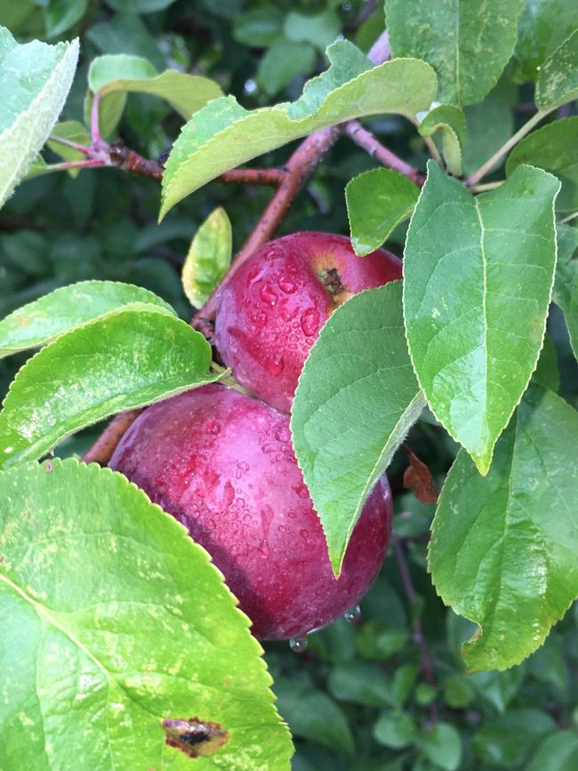 Apple Leaf Close-up Growth Green Color Pink Color Red Nature Beauty In Nature Focus On Foreground Day Outdoors Leaves Fragility Springtime No People