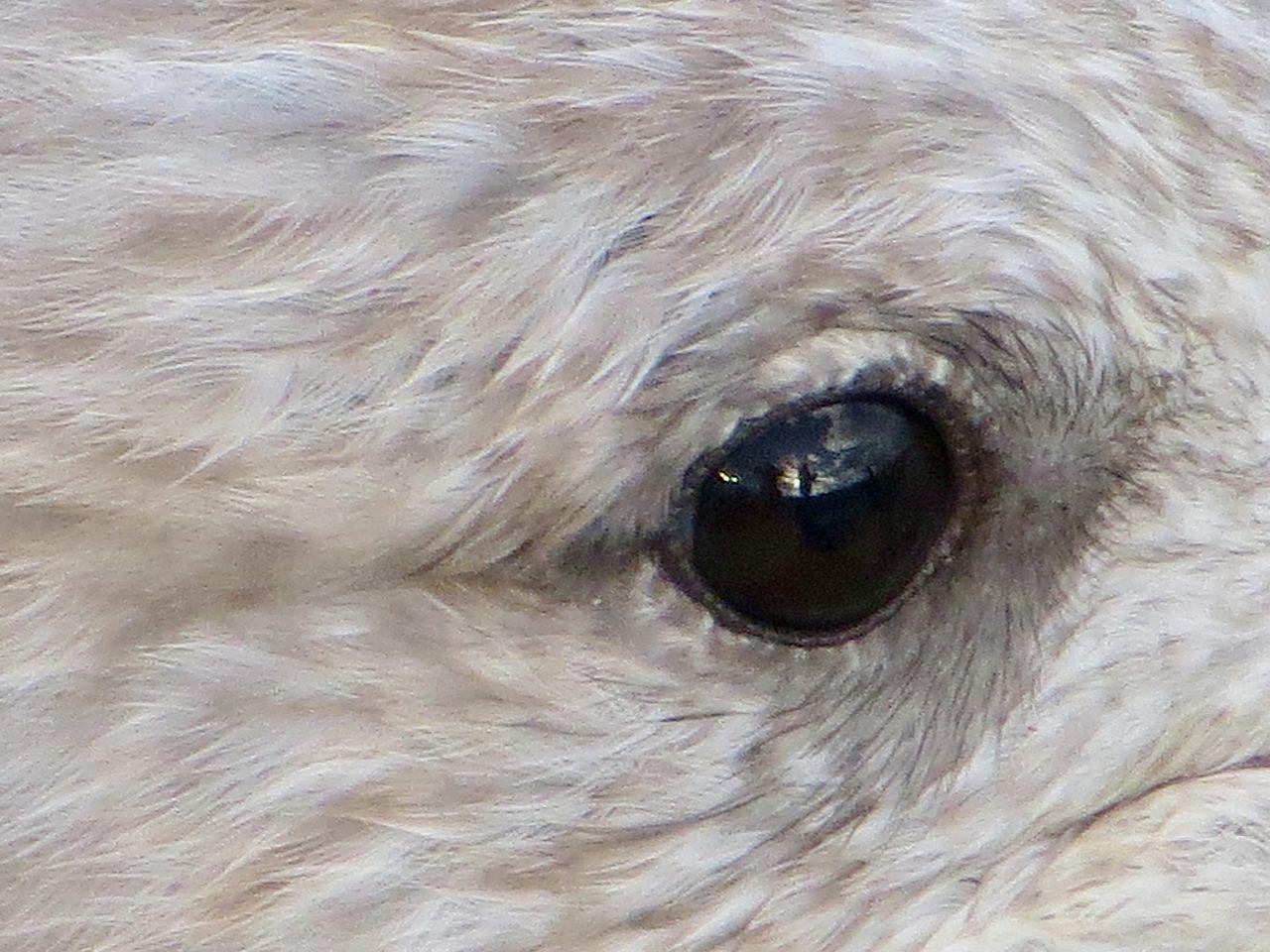 Bird Bird Eye Close-up Day Eyeball Gull Nature No People Outdoors Reflection In Eye