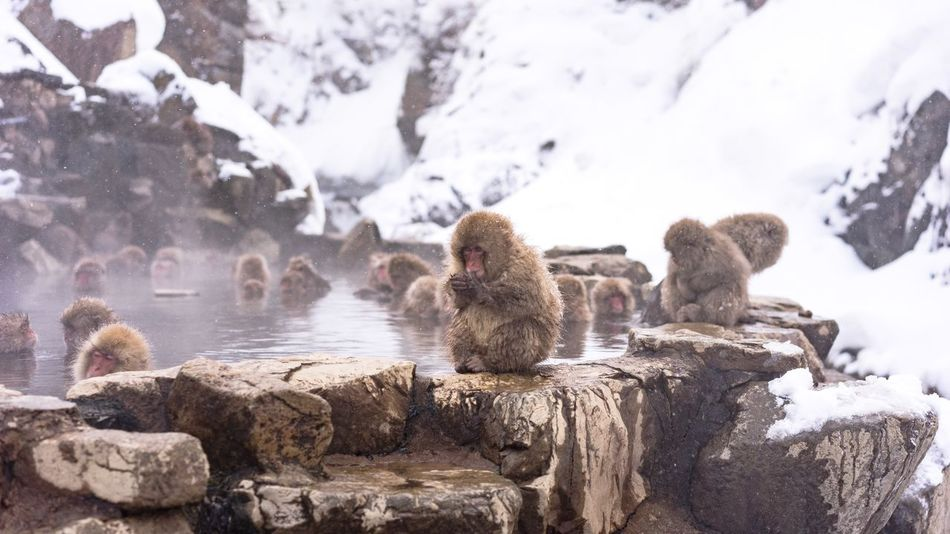 Animals In The Wild Winter Animal Themes Rock - Object Nature Water Animal Wildlife Outdoors Day Snow No People Cold Temperature Monkey Mammal Beauty In Nature Large Group Of Animals Togetherness Close-up Hot Spring Snowing Day Travel Destinations Snowmonkeys at Jigokudani-Snow-Monkey-Park in Nagano Prefecture,Japan Japanese Macaque